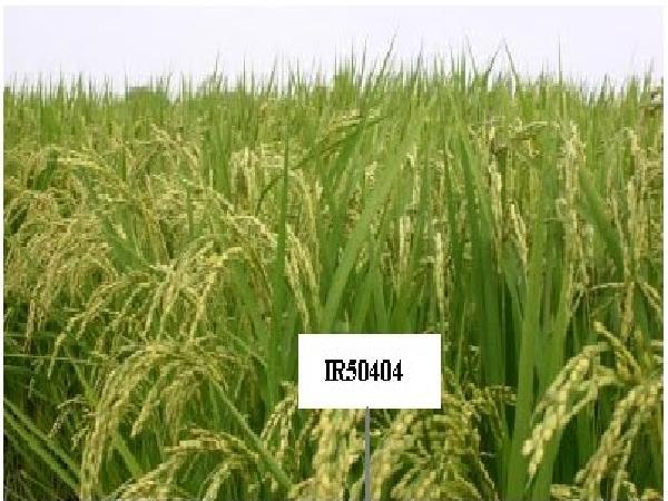 Vì sao lúa IR50404 bấp bênh giá cả và đầu ra?