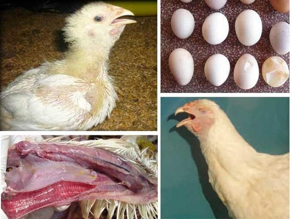 CB-Giải pháp phòng bệnh viêm khí quản truyền nhiễm trên gà