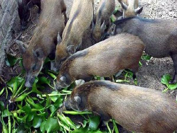 Bộ NNPTNT không cấm dùng bèo, thân chuối, rau dại... để chăn nuôi