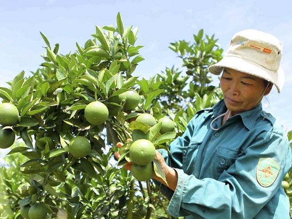 CS-Những tiến bộ kỹ thuật ứng dụng trong sản xuất cây ăn quả có múi