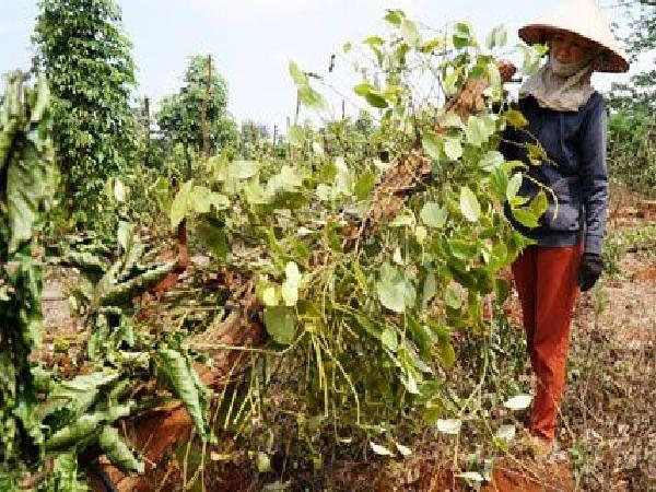 """Người trồng tiêu, cà phê lỗ nặng vì bị... """"bẻ kèo"""": Phát hiện nhiều sai phạm đất đai"""