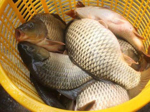 Cá chép giòn, đối tượng nuôi mới cho bà con tỉnh Khánh Hòa