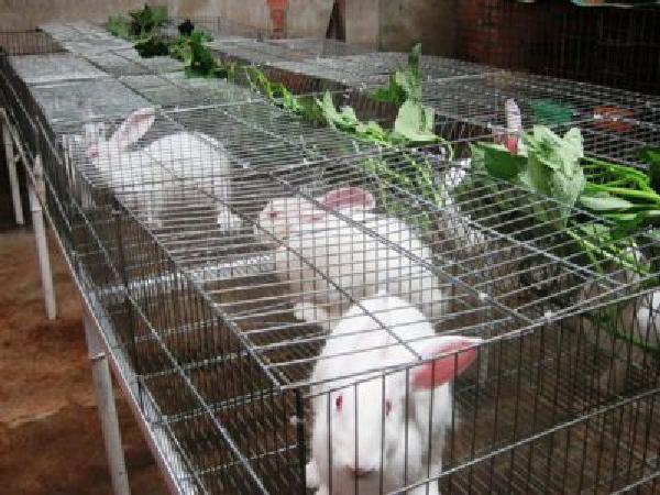 Ăn nên làm ra nhờ nuôi thỏ bằng thảo dược