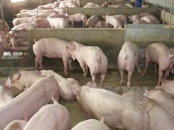 N- Những biện pháp để giảm chi phí trong chăn nuôi heo