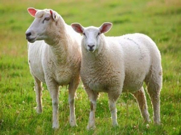 N-Giảm tỷ lệ thai chết lưu ở cừu nhờ Vitamin E