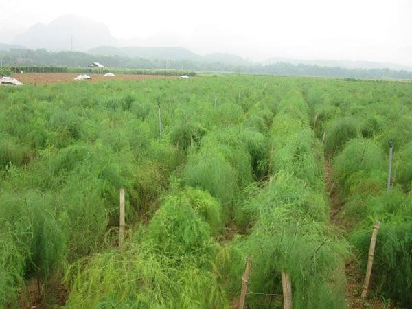 Thu tiền triệu mỗi ngày từ trồng cây măng tây xanh