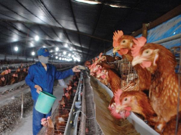 N-Xác định khẩu phần tối ưu cho gà đẻ