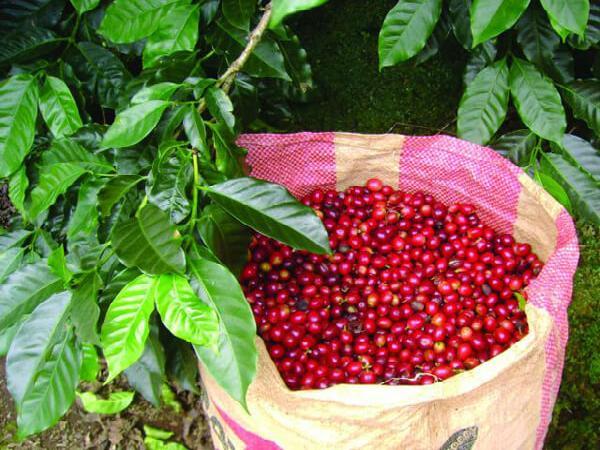 TH-Kỹ thuật thu hoạch và phân loại cà phê