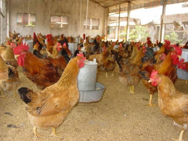 Gà thịt tăng giá, nông dân Bà Rịa – Vũng Tàu phấn khởi tăng đàn