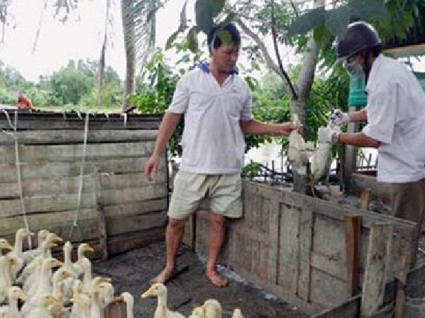 Dịch lở mồm long móng, tai xanh và H5N1 vẫn đang hoành hành tại Hậu Giang