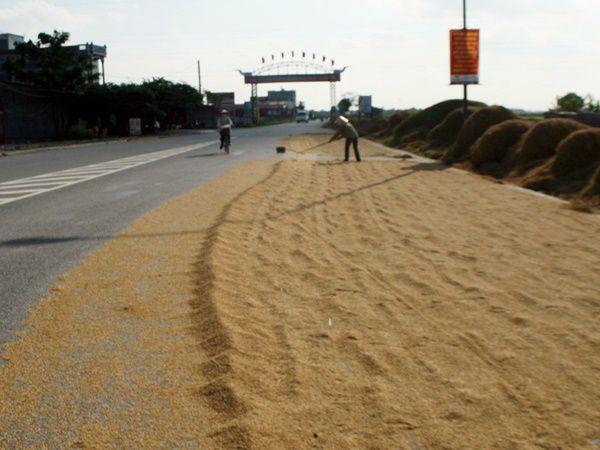 Phơi lúa trên đường giao thông, tưởng đơn giản nhưng lại trái luật