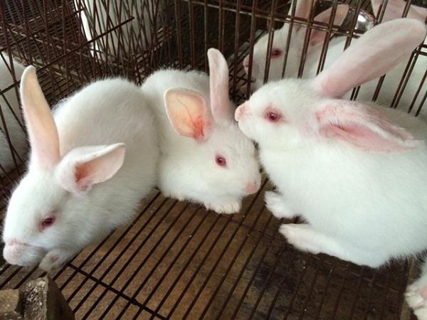 CB-Điều trị bệnh đường hô hấp trên thỏ
