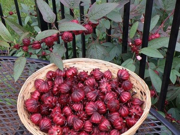 CS-Kỹ thuật trồng và chăm sóc cây atiso đỏ tại nhà