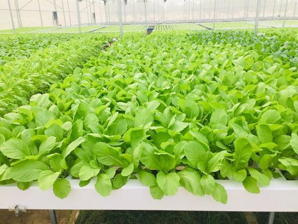 Kiếm bộn tiền nhờ trồng rau sạch hữu cơ bằng công nghệ Aquaponics