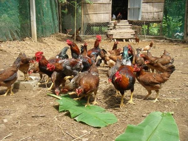 N-Nuôi gà thả vườn cần cung cấp những thức ăn gì?