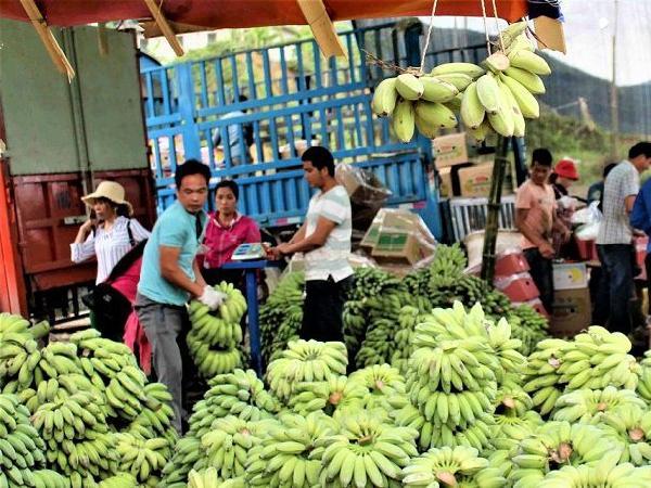 Trung Quốc yêu cầu truy xuất nguồn gốc, chuối Lai Châu vẫn loay hoay gỡ rối