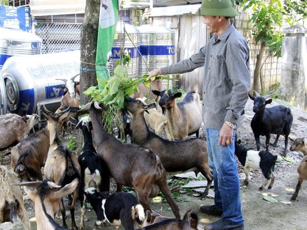 Đưa dê lên đồi chăn thả người dân thu hàng trăm triệu mỗi năm
