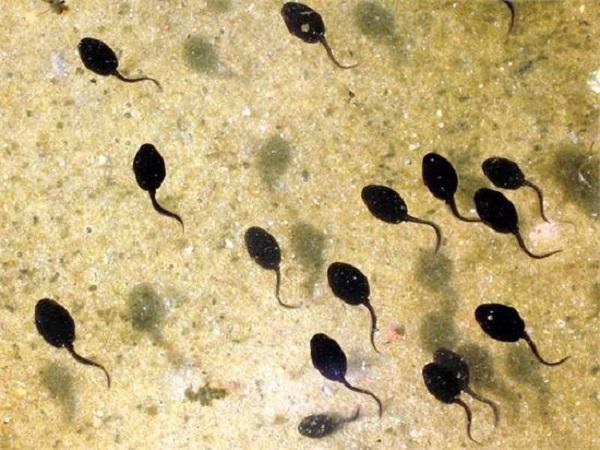 NT-Giảm tỉ lệ chết cho ếch nuôi trong giai đoạn nòng nọc