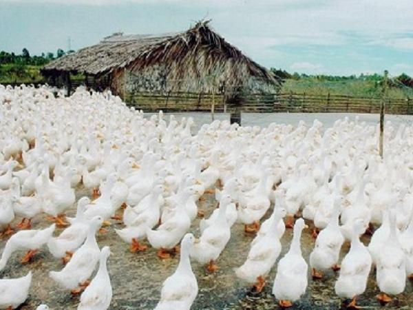N-Nhu cầu dinh dưỡng cho vịt đẻ
