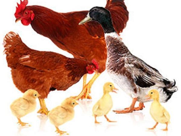 N-Quản lý 7 yếu tố trong chăn nuôi gia cầm giúp giảm chi phí kháng sinh