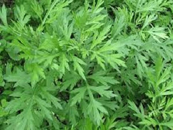 CS-Kỹ thuật trồng và để giống cây Ngải cứu