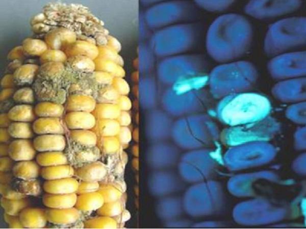 N-Độc tố nấm mốc Aflatoxin trong thức ăn ảnh hưởng như thế nào đến vật nuôi?