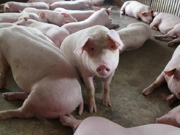 N-Kinh nghiệm hay: Cho lợn ăn trứng gà tăng khả năng phòng chống tả lợn châu Phi