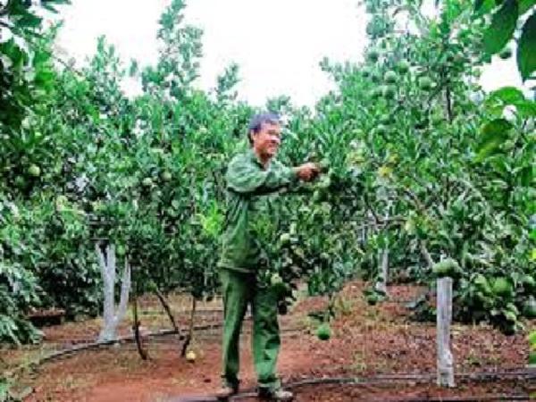 CS-Khôi phục vườn cây có múi sau khô hạn kéo dài