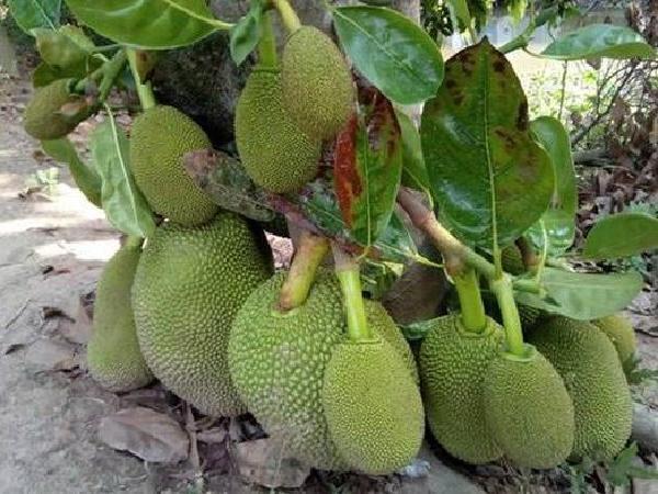 Nguyên nhân khiến mít Thái rớt giá 'không phanh' còn 8.000đ/kg