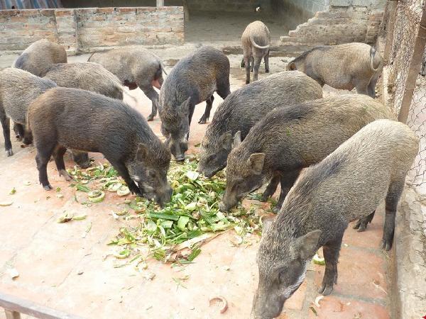 Nuôi lợn rừng, hiệu quả, ít bệnh tật