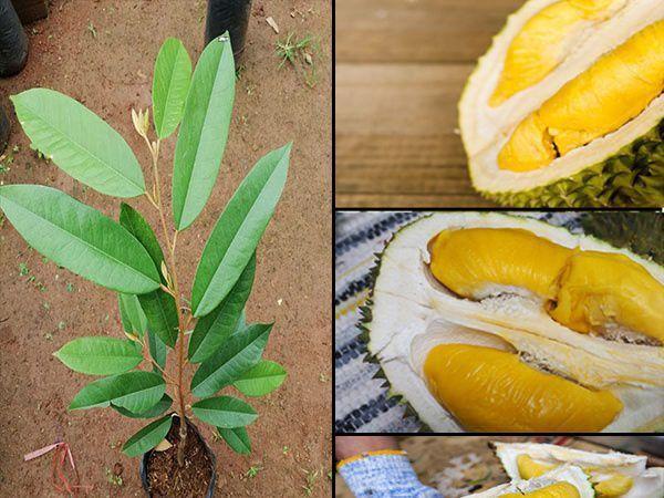 Khuyến cáo khi trồng giống sầu riêng Musang King