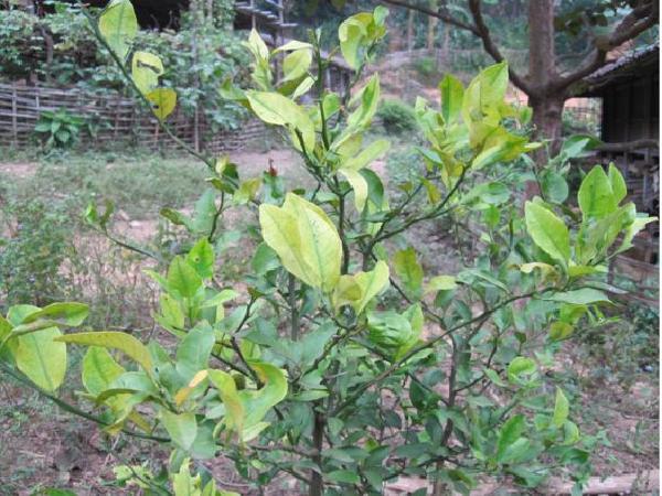 Bắc Giang: Cây có múi xuất hiện căn bệnh nguy hiểm hiện chưa có thuốc đặc trị
