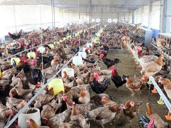Chăn nuôi gà gia công: Lãi ít, nhưng an toàn