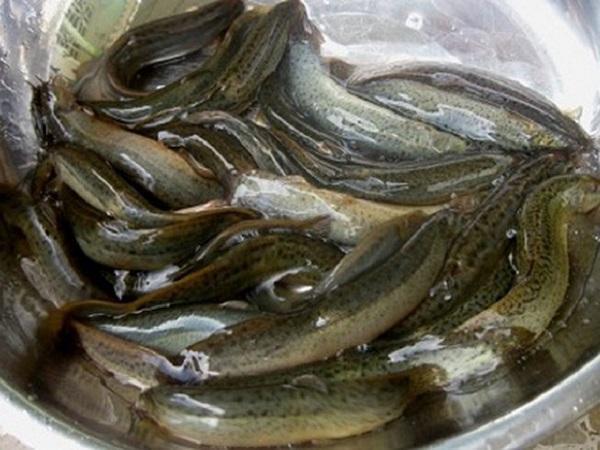 NT-Nuôi cá chạch đồng trong bể xi măng, chi phí ít, lợi nhuận cao