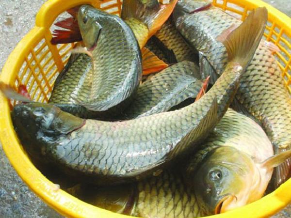 NT-Những nguyên nhân làm giảm tỷ lệ sống của cá nuôi