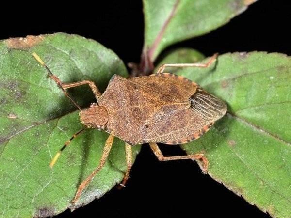 """""""Kẻ hủy diệt"""" cây trồng - sâu keo mùa thu, sẽ bị hủy diệt bởi loài bọ xít nâu săn mồi"""