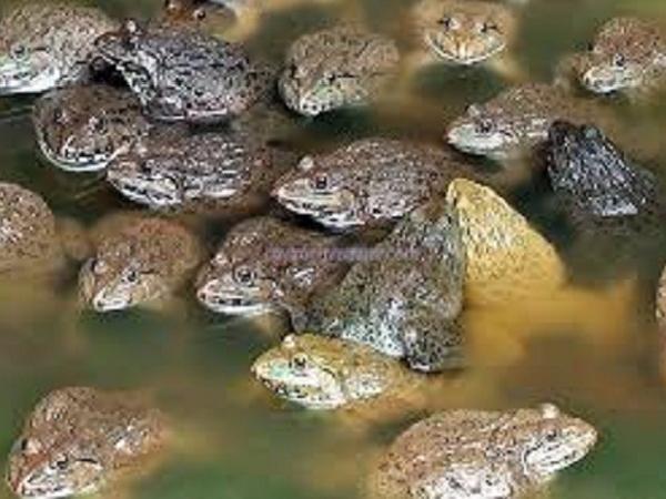 Làm giàu nhờ nuôi ếch sinh sản ở Trà Vinh