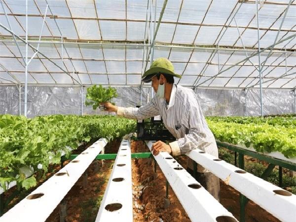 Trường Phúc - Làm giàu bền vững từ sản xuất rau công nghệ cao
