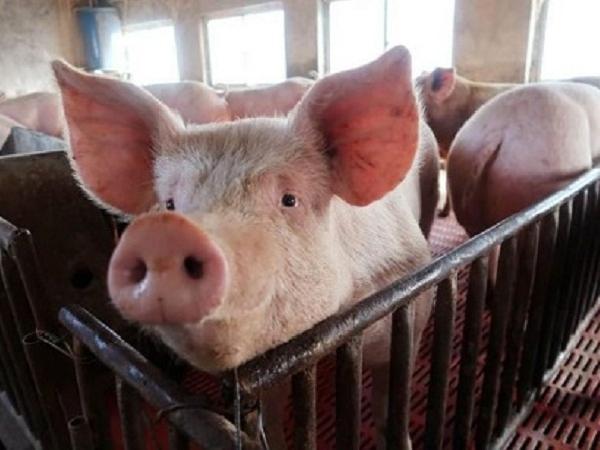 Đồng Nai không hỗ trợ cơ sở chăn nuôi vi phạm phòng chống dịch tả heo châu Phi