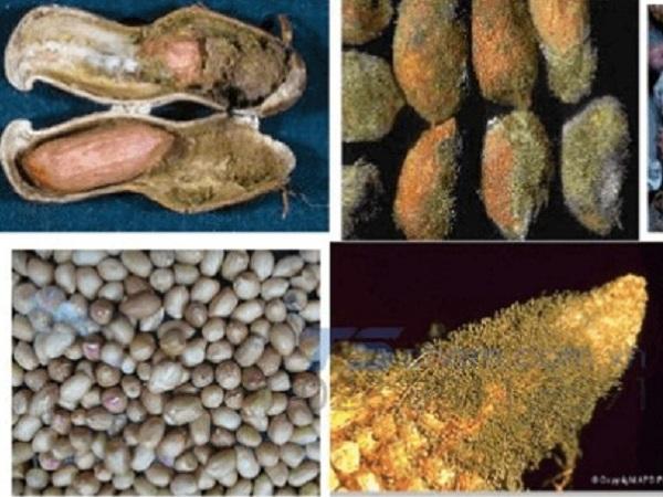 CB-Biện pháp phòng, điều trị vật nuôi bị nhiễm độc tố nấm mốc Aflatoxin