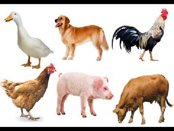 N-Một số bài thuốc nam phòng, trị bệnh cho vật nuôi cực kì hiệu quả