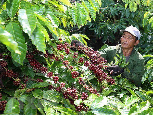 Tương lai rộng mở hơn cho cà phê Việt Nam sau hiệp định EVFTA