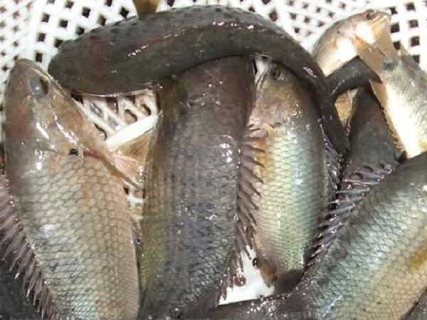 NT-Kỹ thuật sản xuất giống cá rô đồng cho tỷ lệ sống cao