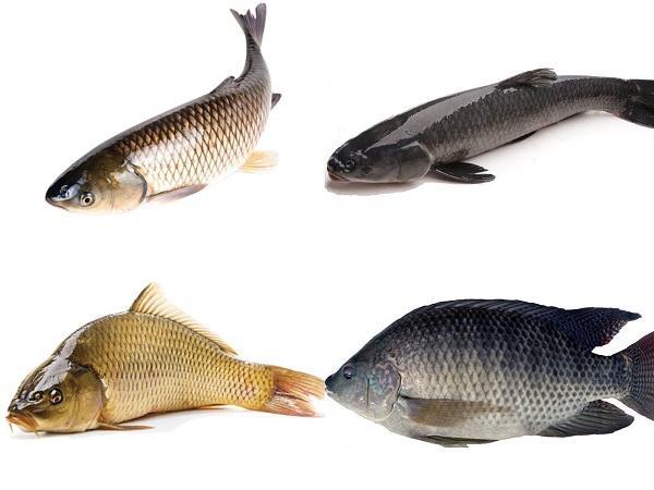 NT-Kỹ thuật nuôi ghép nhiều loại cá trong ao nước tĩnh đạt năng suất cao