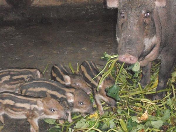 N-Một số khó khăn cần biết khi nuôi lợn rừng