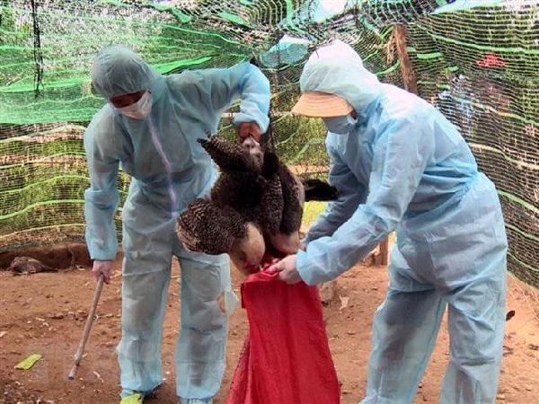Gia súc, gia cầm thiệt hại do thiên tai, dịch bệnh sẽ được hỗ trợ bao nhiêu?