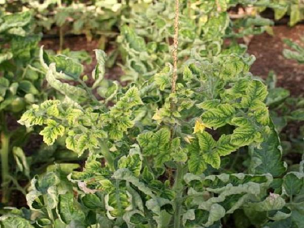 SB-Phòng trừ bệnh xoăn vàng lá cà chua