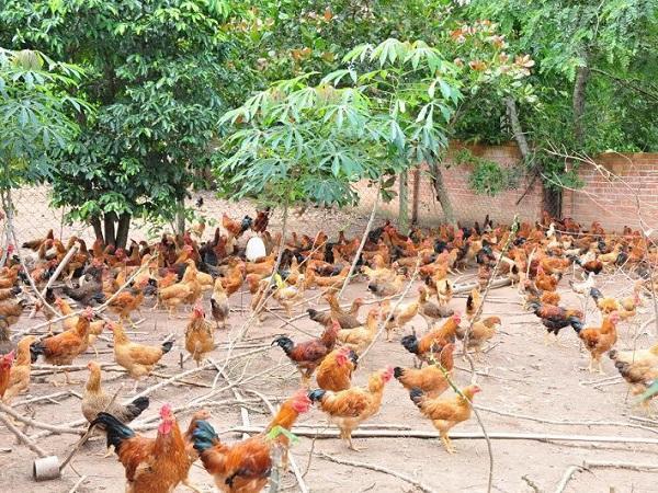 Kiệt quệ vì lợn, chuyển sang nuôi gà thả vườn cho thu nhập cao