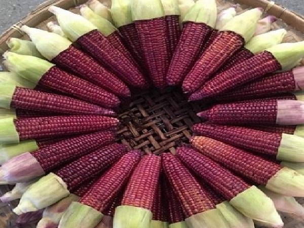 """Ngô """"nữ hoàng đỏ"""" được cấp phép trồng ở Việt Nam"""