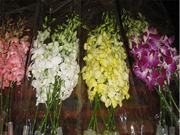 TH-Cách thu hoạch và bảo quản lan Dendrobium